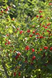 Shrub of honeysuckle with red berries vertical orientation. Green shrub of honeysuckle with lots of bright red ripe berries vertical orientation royalty free stock photography