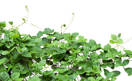 Shrub Royalty Free Stock Images