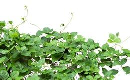 Shrub. Isolated on white background Royalty Free Stock Images