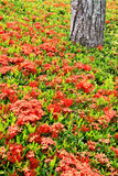 Shrub - Ixora 'Sunkist'. The scientiic name of this plant is Exora 'Sunkist', from Rubiaceae family. It is a kind shrub, usually planted for landscaping and in Stock Image