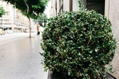Shrub in jardiniere beside sidewalk Stock Photo