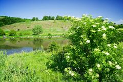 Shrub of lderflower and nice river by summer. Stock Image