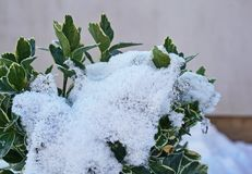 Shrub leaves partly covered by snow with a wall in the background stock photography