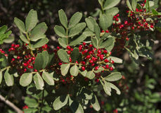 Shrub with lot of red berries on branches photo, pistachio Stock Photos