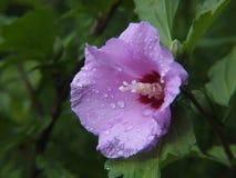 Shrub Mallow (Hibiscus syriacus) Royalty Free Stock Image