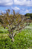 Shrub - Maltese Countryside, Malta. A wild shrub found in maltese countryside Stock Photography