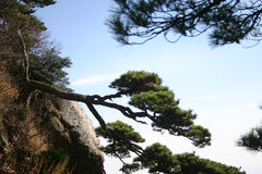 Shrub or mountain pine tree Royalty Free Stock Photo