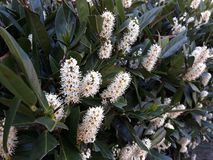 Free Shrub Of Cherry Laurel Prunus Laurocerasus In Bloom. Stock Image - 140836111
