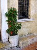 Shrub in Old Stone Pot Royalty Free Stock Images
