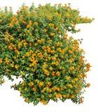 Shrub. Orange shrub on white background Stock Images