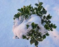 Shrub partly covered by snow with white background stock image