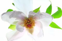 Shrub peony (Paeonia suffruticosa). Flower of a shrub peony (Paeonia suffruticosa), isolated in front of white background Stock Image