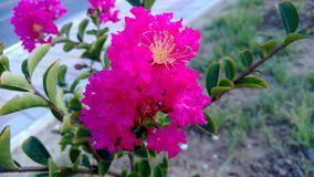 Shrub with pink flowers Stock Image