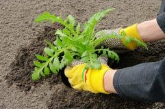 Shrub planting Royalty Free Stock Image