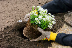 Shrub planting Stock Images