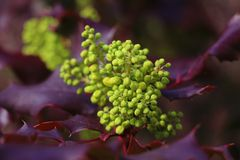 Purple green impression. A shrub with purple leaves, and a non-blooming pale green grape royalty free stock photo