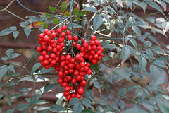 Shrub with red berries Royalty Free Stock Photos