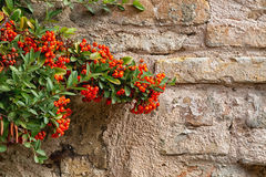 Shrub with red berries Royalty Free Stock Image
