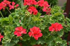 Shrub of Red Geranium. Closeup of shrub of red Geranium flowers in ornamental garden Stock Images