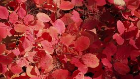Shrub with red and golden leaves in sunlight. Backgrounds from red leaves in sunlight stock video
