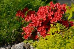 Shrub Rhododendron in a spring garden. Stock Photo