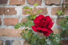 Shrub of rose. On the brick wall background Royalty Free Stock Photography