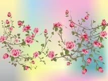 Shrub rose, Stock Image