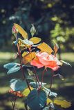 The shrub rose in the Peterhof Park Royalty Free Stock Images