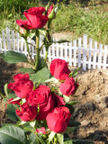 Shrub rose. Stock Photos