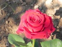 Shrub rose. Royalty Free Stock Image