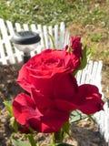 Shrub rose. Stock Photography