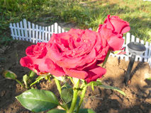 Shrub rose. Royalty Free Stock Photo
