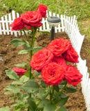 Shrub rose. Stock Image
