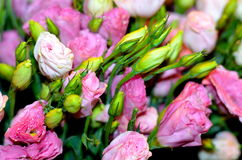 Shrub rose (Rosa) Stock Photo