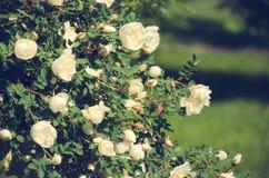 Shrub rose white Park. Shrub rose white in Park stock images