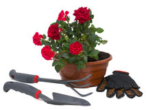 Shrub roses and garden tools Royalty Free Stock Image