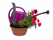 Shrub roses and garden tools Stock Photos