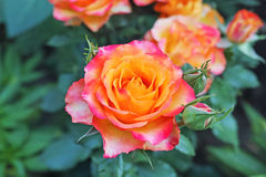 Shrub roses with orange and pink petals Stock Image