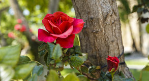 Shrub roses in the park Stock Photography