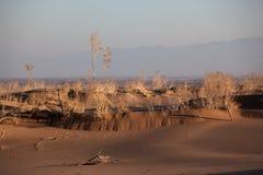 Shrub Saxaul (Haloxylon) in sand desert. Shrub Saxaul (Haloxylon) grows in steppes of Central Asia, Kazakhstan Stock Image
