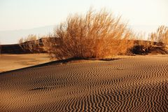 Shrub Saxaul (Haloxylon) in sand desert. Shrub Saxaul (Haloxylon) grows in steppes of Central Asia, Kazakhstan Stock Photography