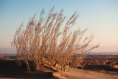 Shrub Saxaul (Haloxylon) in sand desert Stock Photo
