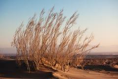 Shrub Saxaul (Haloxylon) in sand desert. Shrub Saxaul (Haloxylon) grows in steppes of Central Asia, Kazakhstan Stock Photo