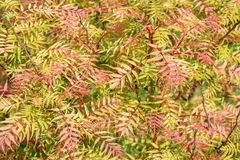 Shrub  Sorbaria sorbifolia. In the garden stock photo