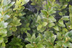 Shrub with spider web. Green shrub with spider web Stock Image