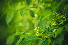 Shrub in Spring Royalty Free Stock Image