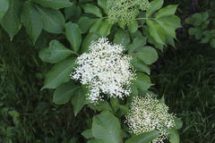Shrub in summer blossomed with white small flowers. White flowers are collected in large inflorescences. Stock Photos