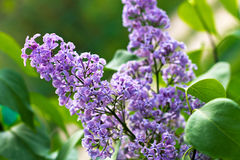 Shrub Syringa vulgaris. The photo shows a branch of lilac with purple flowers. Spring flowering Royalty Free Stock Image