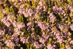 Shrub with tiny pink flowers Stock Photo