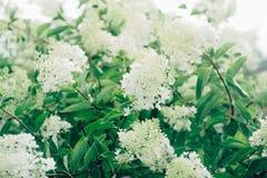 Shrub with white flowers Stock Photo